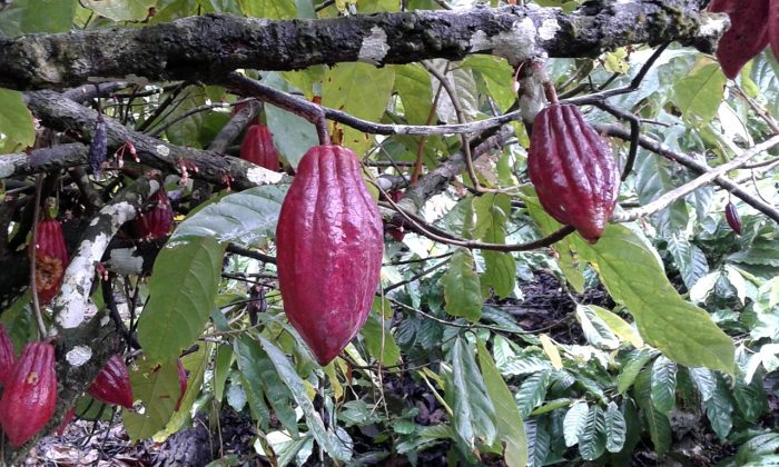 kakao di Harapan Jaya Padang Cermin